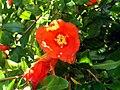 Punica granatum flowerCloseup DehesaBoyaldePuertollano.jpg