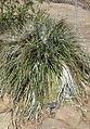 Puya alpestris - Leaning Pine Arboretum - DSC05608.JPG