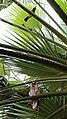 Pycnonotus xanthopygos mobbing Asio otus – Brenner Regional Council.jpg