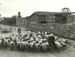 Shepard with sheep in Qastina, before 1948