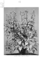 Queensland State Archives 4284 Crofton weed showing flowers 1950.png