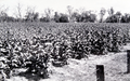 Queensland State Archives 4327 Tobacco on Mr J Hendersons property Saloma Miriam Vale February 1938.png