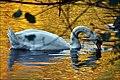 Queensmere Swans, Nov 2011 -3 (6340785588).jpg