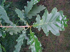 Quercus-robur.JPG