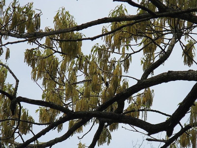 File:Quercus acutissima11.jpg