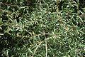 Quercus geminata (24109622386).jpg