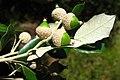 Quercus ilex subsp. gracilis. Alguera.jpg
