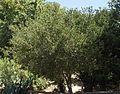 Quercus pacifica.jpg