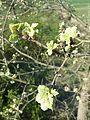 Quercus pubescens sl5.jpg