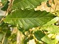 Quercus trojana (14).JPG