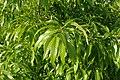 Quercus variabilis kz04.jpg