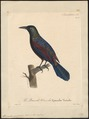 Quiscalus purpureus - 1825-1834 - Print - Iconographia Zoologica - Special Collections University of Amsterdam - UBA01 IZ15800301.tif