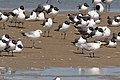 RIng-billed Gull, Royal Tern & Laughing Gull Brownsville TX 2018-03-21 11-16-36 (40083044315).jpg