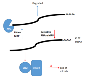 RNase MRP - Diagram of RNase MRP role in cell cycle control. Rnase MRP degrades CLB2 mRNA. CLB2 mRNA is processed to create an uncapped RNA transcript. This transcript is then degraded by Xrn1 5'-3' exoribonuclease. Defective RNase MRP results in increased CLB2 mRNA and protein. Maintained CLB2 protein levels allows Cdc28 (a cyclin-dependent kinase) to remain active and inhibit the end of mitosis.