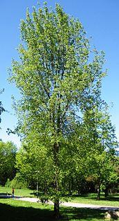 <i>Ulmus</i> Regal Elm cultivar