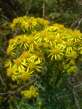 Common ragwort growing in Scotland.  Ragwort is a problem weed throughout the UK