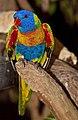 Rainbow Lorrikeet-01 (6286670783).jpg