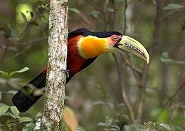 Ramphastos dicolorus -São Paulo-SP, Brasil-8