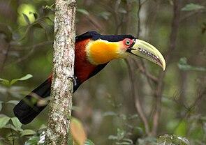 Ramphastos dicolorus -São Paulo-SP, Brasil-8.jpg