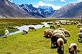 Rangdum village sheep.jpg