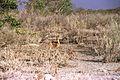 Raphicerus campestris (3) 19990804 JoRoRe 03.jpg