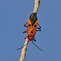 Red-Cotton bug.jpg