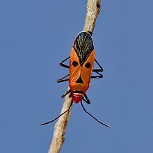 Red-Cotton bug.jpg