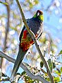 Red-capped Parrot, Blackadder Wetland 1b.jpg