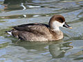 Red-crested Pochard female RWD.jpg