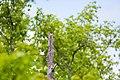 Red-headed woodpecker (26783540515).jpg