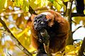 Red-ruffed Lemur (16317771291).jpg