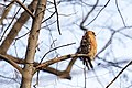 Red-shouldered hawk (20241273396).jpg