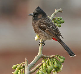 Red-vented Bulbul (Pycnonotus cafer) on Kapok (Ceiba pentandra) in Kolkata W IMG 3976.jpg