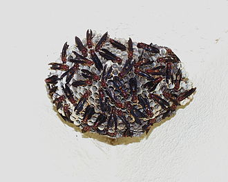 Polistes - Image: Red Wasp Nest