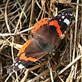 Red Admiral Butterfly - geograph.org.uk - 217819.jpg