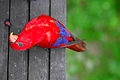 Red Lory (Eos bornea) -looking upwards.jpg