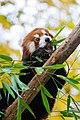 Red Panda (37661561635).jpg
