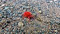 Red Velvet Mite (Trombidium sp.) (6032868612).jpg