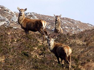 English: Red deer