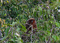 Red howler monkey (7958435768).jpg
