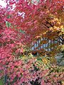 Red leaves near Mikazukinotaki Hot Spring 20141116.jpg