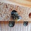 Red mason bee (Osmia bicornis) nest being sealed, Sandy, Bedfordshire (8912348866).jpg