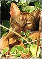 Red tabby cat.jpg