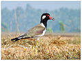 Red wattled lapwing (Vanellus indicus).jpg