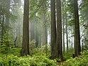 Sekvojadendro-Nacia Parko, nebulo en la forest.jpg