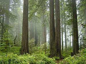 Del Norte County, California - Image: Redwood National Park, fog in the forest
