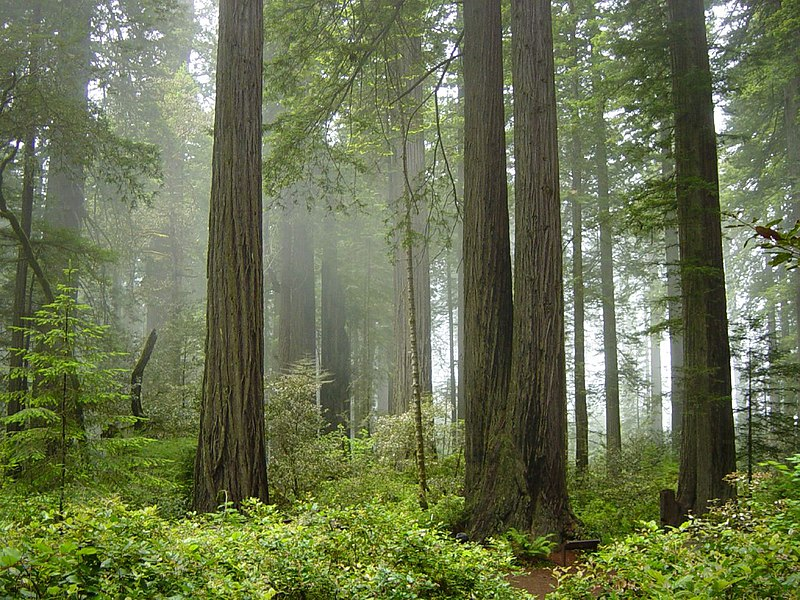 File:Redwood National Park, fog in the forest.jpg