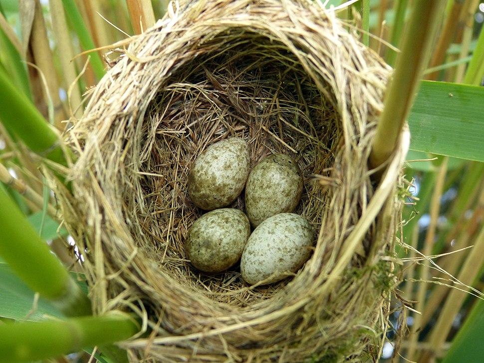 Reed Warbler Nest 10-06-12 (7173415717)