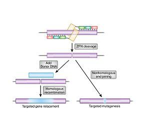 Zinc finger nuclease - Image: Repair outcomes of a genomic double strand break for ZFN cleavage