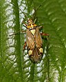 Rhabdomiris striatellus - Flickr - S. Rae.jpg